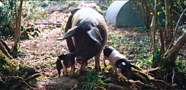 Pigs_pig2