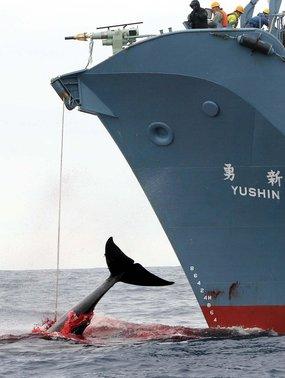 Japanese_whaler